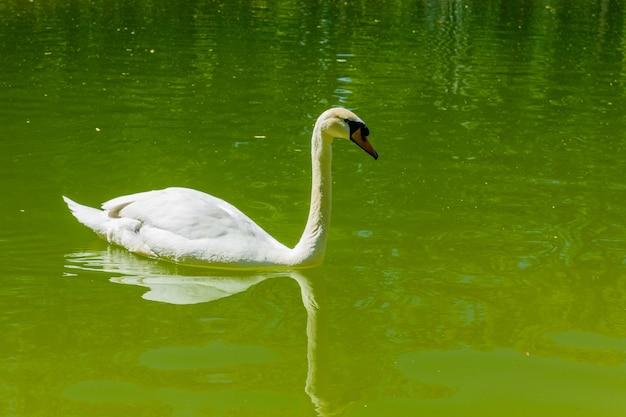 Белый лебедь в пруду в городском парке