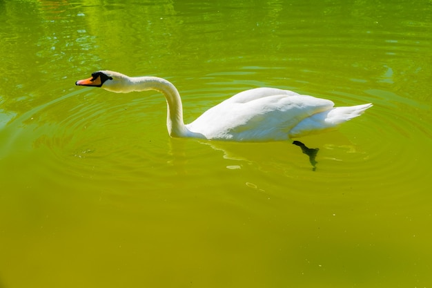 도시 공원의 연못에 있는 하얀 백조