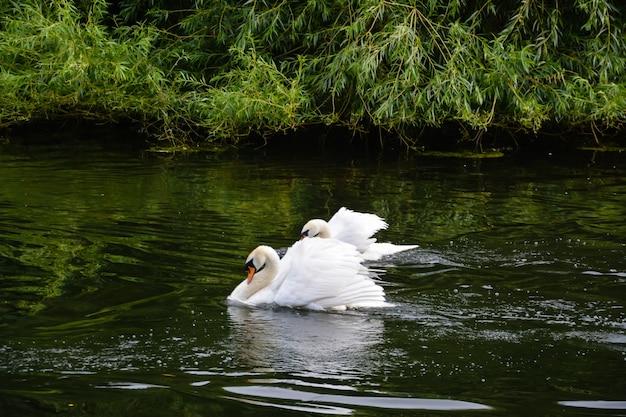 세인트 제임스 공원의 하얀 백조. 2014년 7월 5일 - 영국 런던.