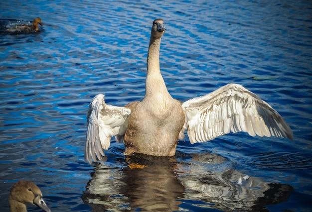 白い白鳥が穏やかな青い水面の上で羽ばたきます