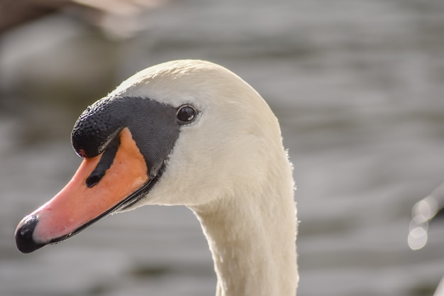White swan is looking at camera