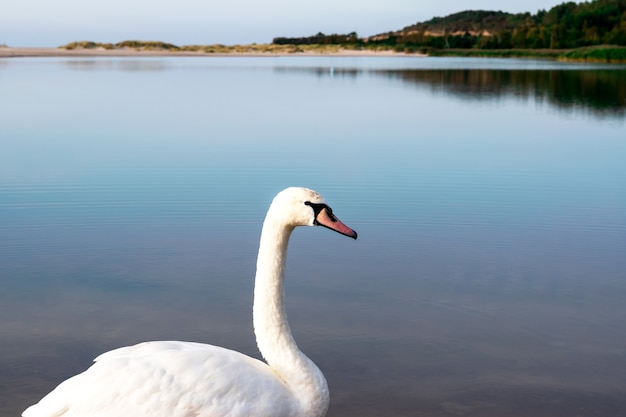 青い穏やかな湖の背景に白い白鳥、側面図