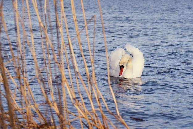 Белый лебедь на берегу балтийского моря в финляндии.