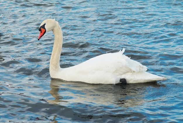 Белый лебедь на воде.