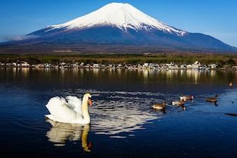 White swan on Yamanaka lake with Mt. Fuji