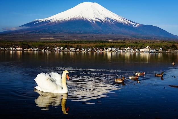 山中湖に白い白鳥。富士