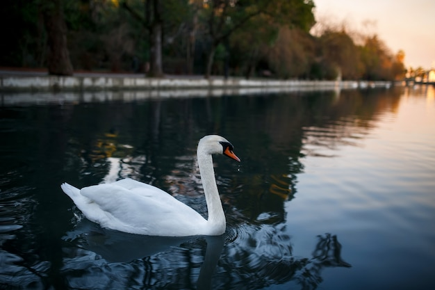 White swan on a pond, beautiful and graceful