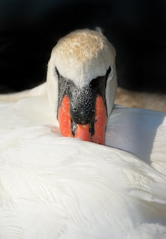White swan in resting position