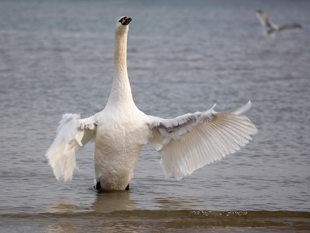 White swan in the sea