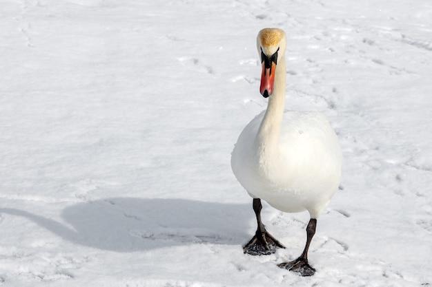 하얀 백조는 겨울 날 햇빛에 눈 덮인 강에 서서