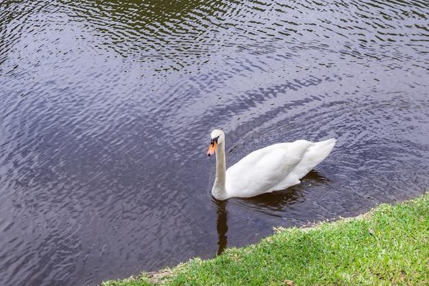 白鳥が湖で泳ぐ