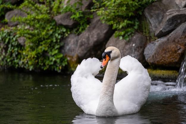 White swan swim in water scene
