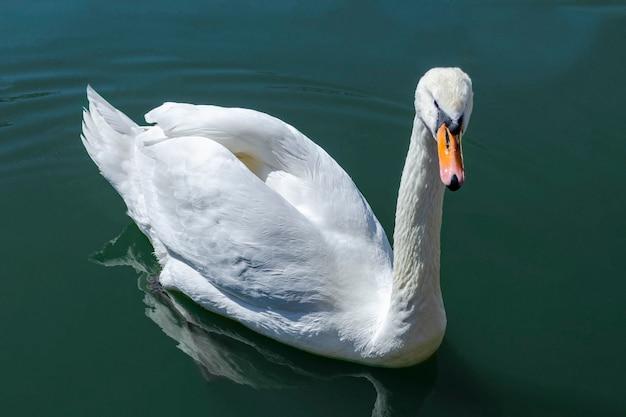 水中を泳ぐ白鳥のクローズアップ