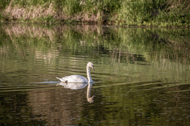 White swan swimming in the lake with a reflection