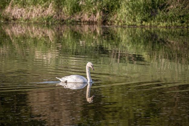 Cigno bianco che nuota nel lago con una riflessione