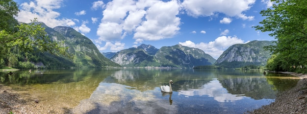 White swan swims along the alpine lake
