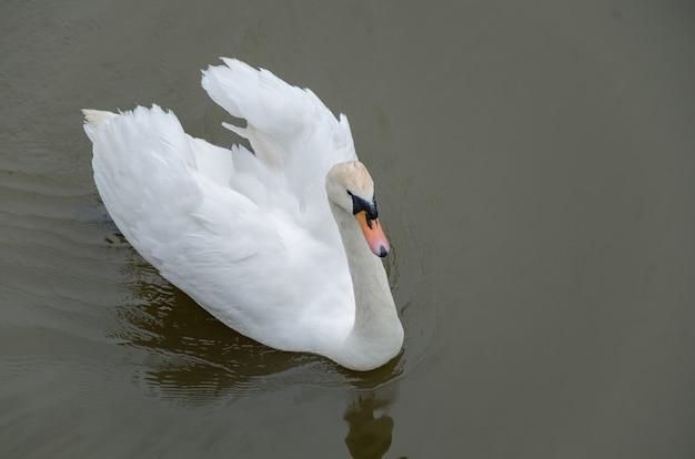 Осенью белый лебедь плавает в озере, грациозная птица с белыми перьями в воде недалеко от берега