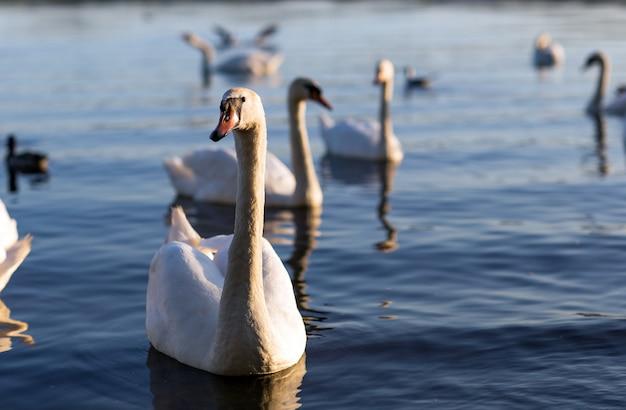White swan in tha lake close up