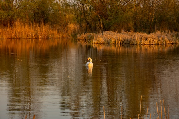 White swan on vacaresti natural park, bucharest danube