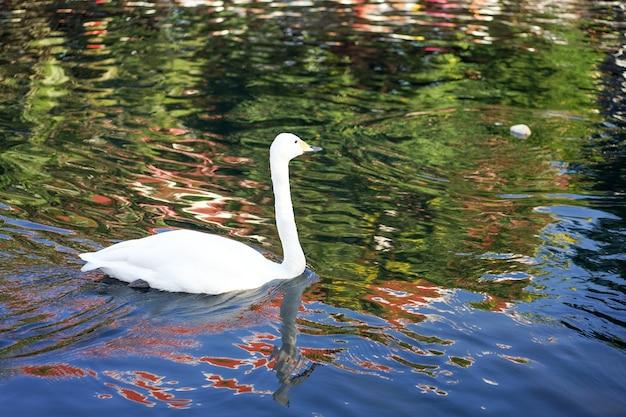 하얀 백조는 반사 파도 검은 cannel에서 행복 수영