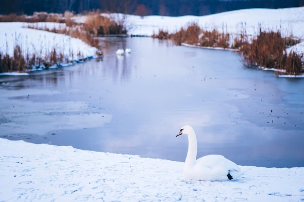 White swan on a winter pond. frozen river. footprints in the snow. winter landscape with white swan. sleeping nature.