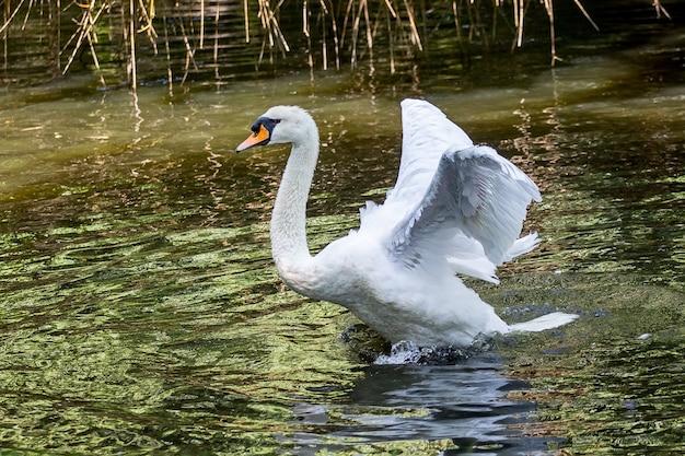 川に羽を上げた白い白鳥_