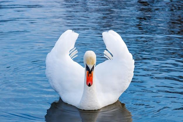 川の水面に浮かぶ隆起した翼を持つ白い白鳥