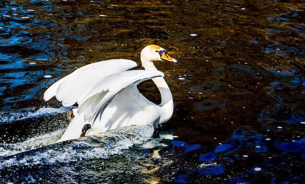 上げられた翼を持つ白い白鳥、水中の鳥の痕跡