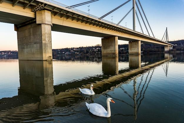 White swans by the liberty bridg in novi sad, serbia
