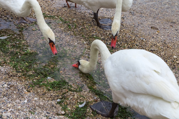White swans drink water on the pebbled beach of lake garda in the town of sirmione