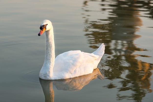 向かい合う白い白鳥