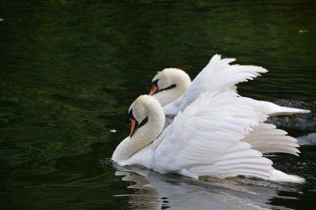 세인트 제임스 공원의 하얀 백조.