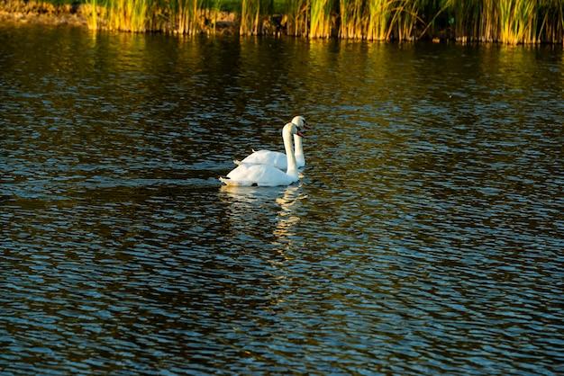 川の白い白鳥、白鳥の家族