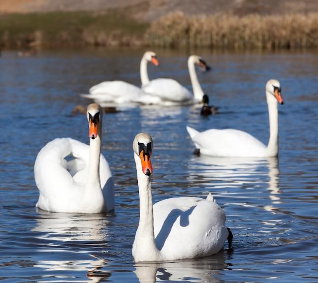 도시 근처 호수에 사는 하얀 백조, 한 쌍을 찾는 동안 봄철에 아름다운 큰 물새