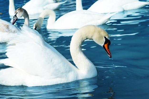 Белые лебеди на озере с голубой водой