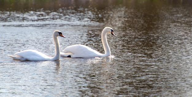 湖の白い白鳥