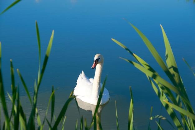雲の反射で池に白い白鳥
