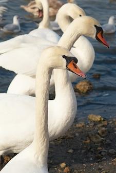 Белые лебеди на воде.