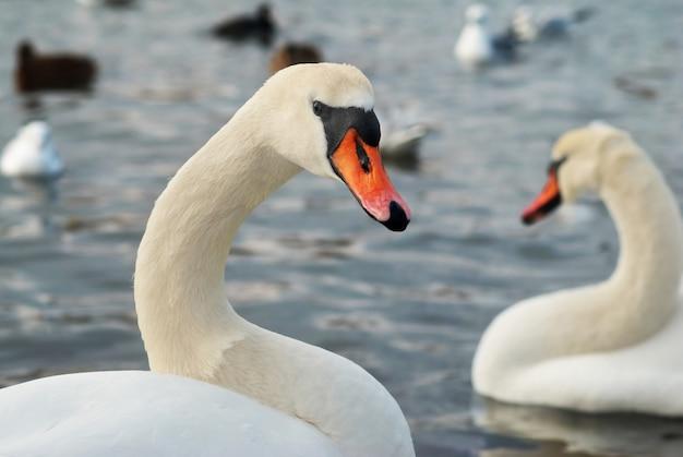 水に白い白鳥。