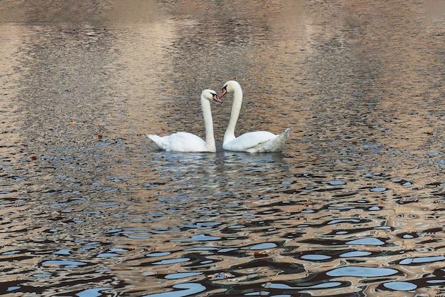 秋の公園の湖で白い白鳥が泳ぐ