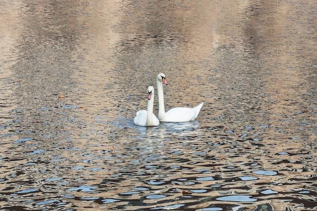 Белые лебеди плавают в озере в осеннем парке