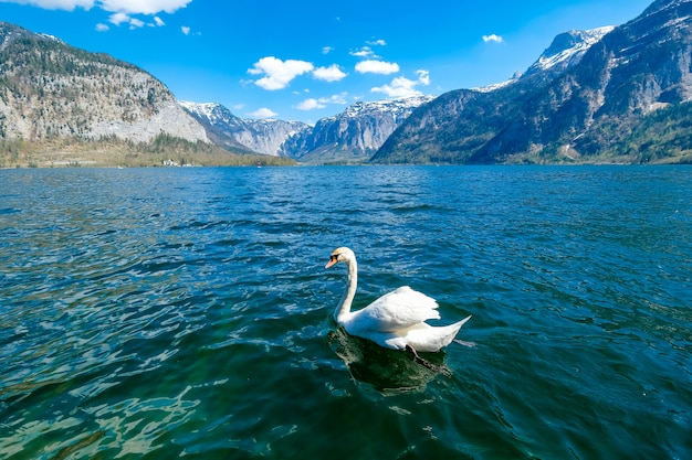 White swans swimming in lake hallstatt.