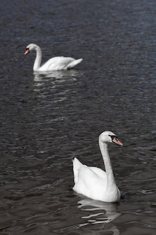 White swans swimming and looking for food under water in the lake. beautiful wild swan bird floating on the water surface and feeding