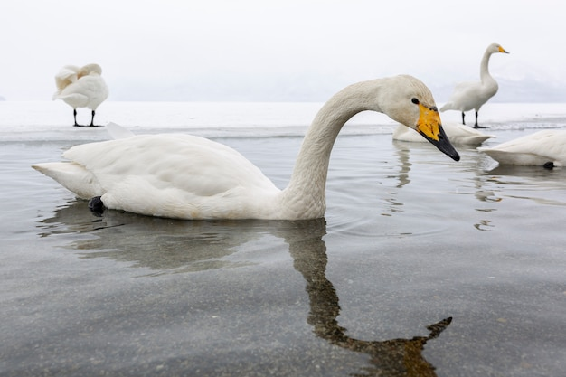 White swans swimming in the nonfreezing winter lake in japan