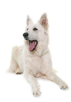 White swiss shepherd dog barking