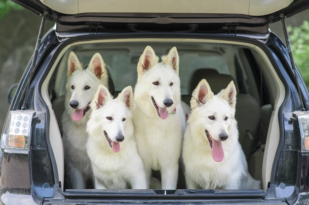 Белая швейцарская овчарка в багажнике машины. начало путешествия. собаки взяты на прививку.