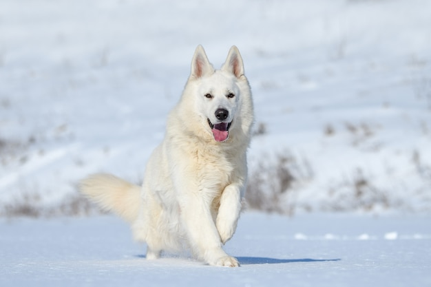 White swiss shepherd dog running on snow in winter time