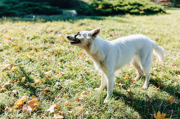 White swiss shepherd is having fun in autumn sunny park