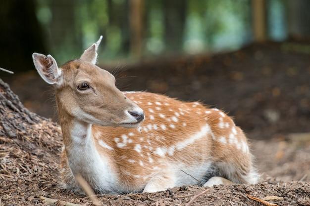 Белохвостый олень отдыхает в лесу