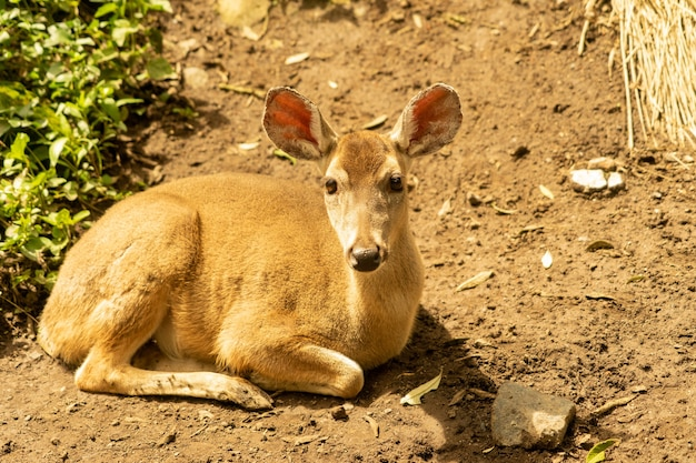 White tailed deer sitting on the ground